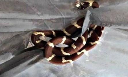 Encontraron dos serpientes en la baulera de un colectivo — Viedma