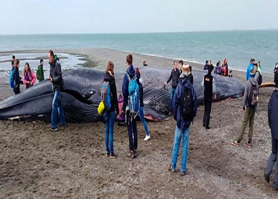 Ballena azul varada en Punta Arenas presenta rayados en su cuerpo
