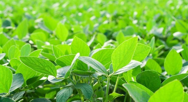 La soja cayó a su menor valor en una década — Preocupante