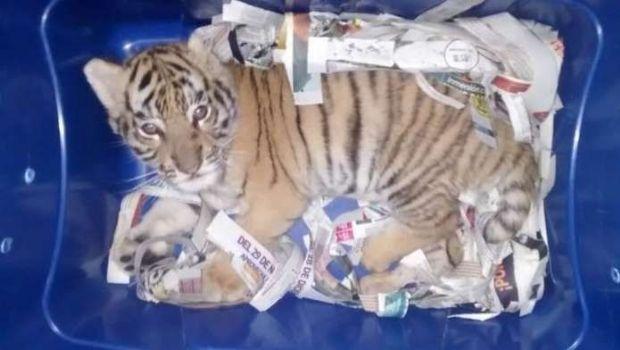 Mexico. rescataron a un cachorro de tigre que pretendían enviar por correo