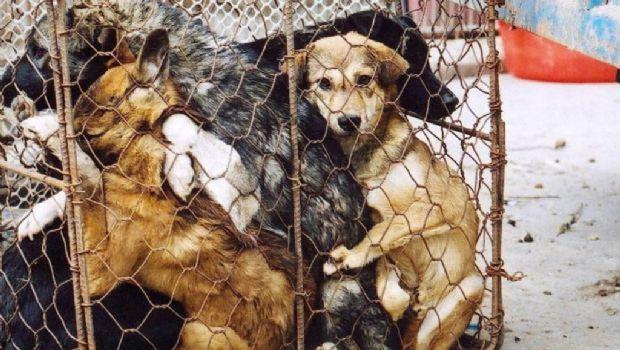 En Vietnam quieren dejar de comer carne de perro